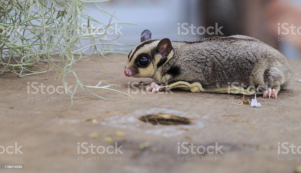 Cute small possum or Sugar Glider on tree stock photo