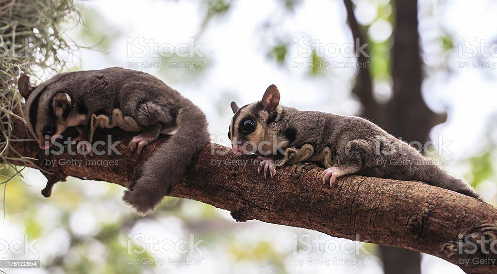 Cute small possum or Sugar Glider on tree royalty-free stock photo