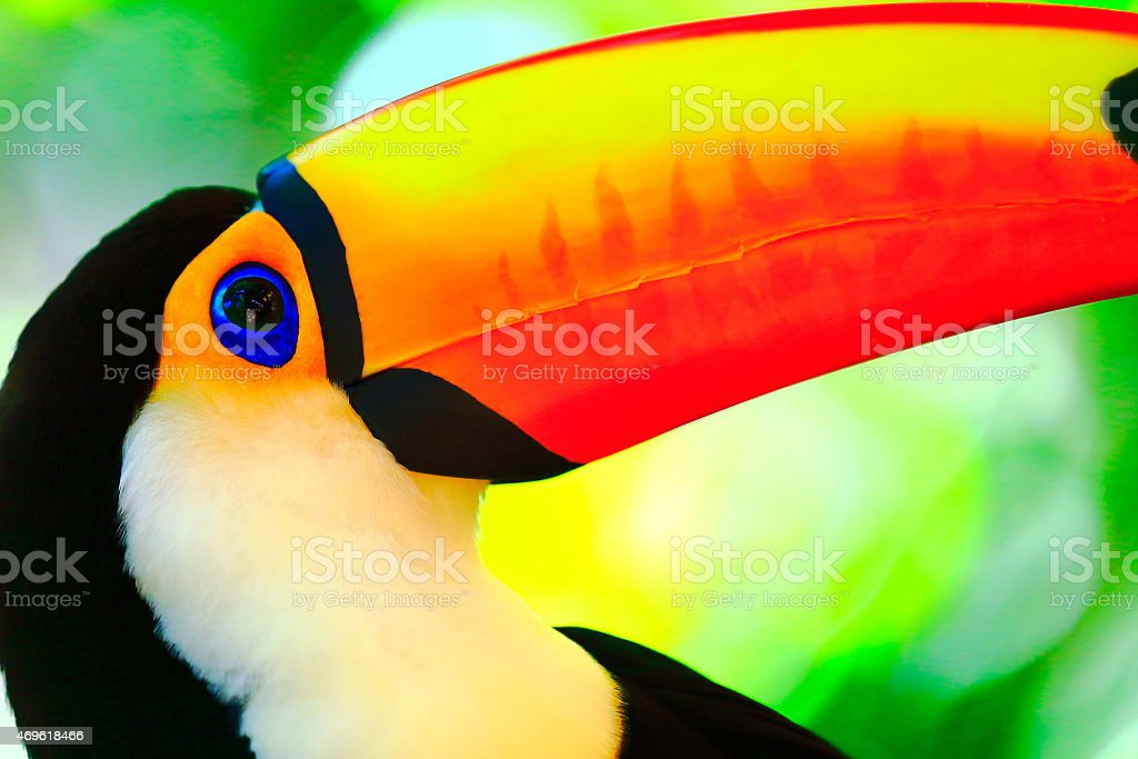 Cute smart colorful tropical toucan bird profile portrait, Brazil stock photo