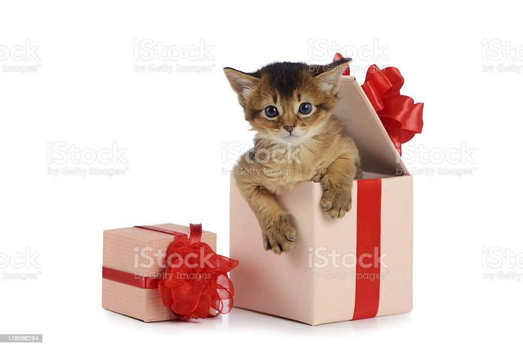 Cute somali kitten in a present box isolated stock photo