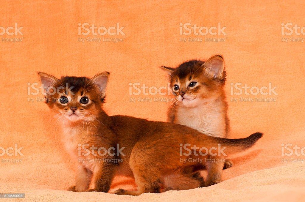 Cute somali kittens stock photo