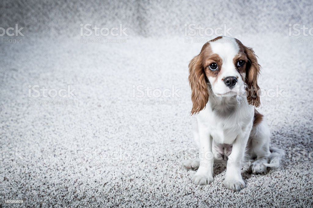 Cute Spaniel Pup stock photo