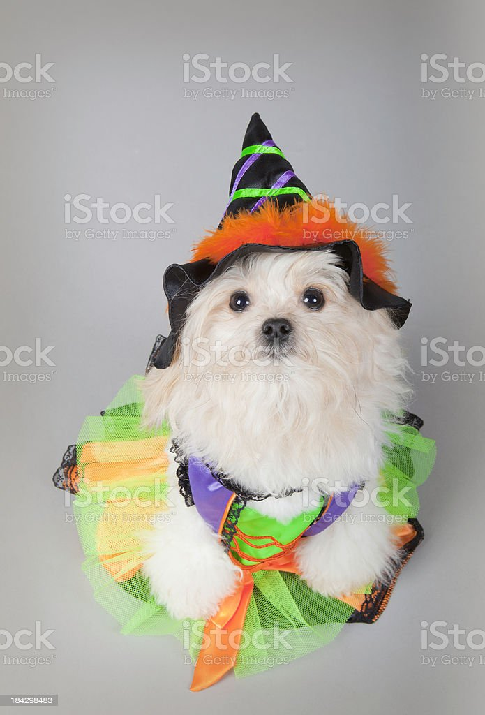 cute spooky puppy witch stock photo