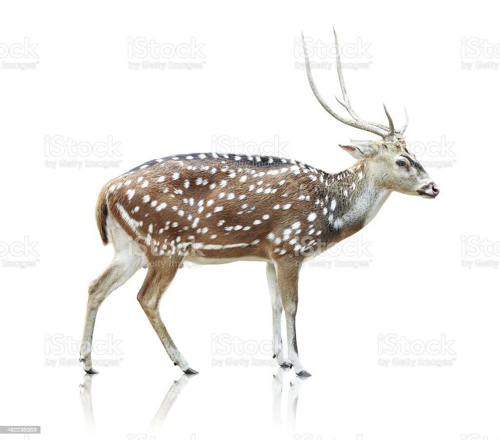 Cute spotted deer on white background stock photo
