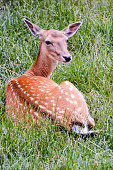 Cute spotted fallow