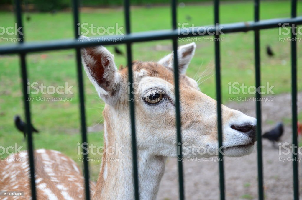 Cute spotted Sika deer standing on meadow in nature behind a fence. stock photo