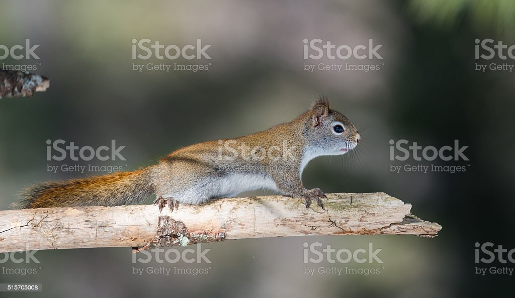 Cute springtime Red squirrel, close up, perched on a branch. stock photo