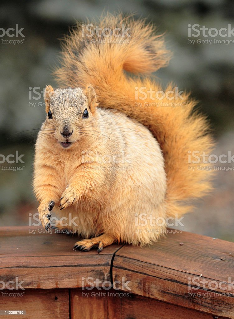 Cute Squirrel Begging royalty-free stock photo