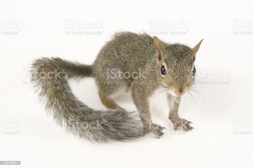 Cute Squirrel II stock photo