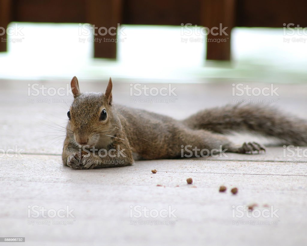 Cute squirrel laying on deck photo libre de droits