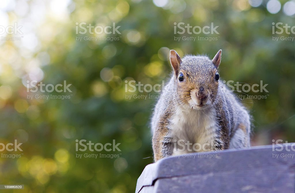 cute squirrel on a park bench royalty-free stock photo