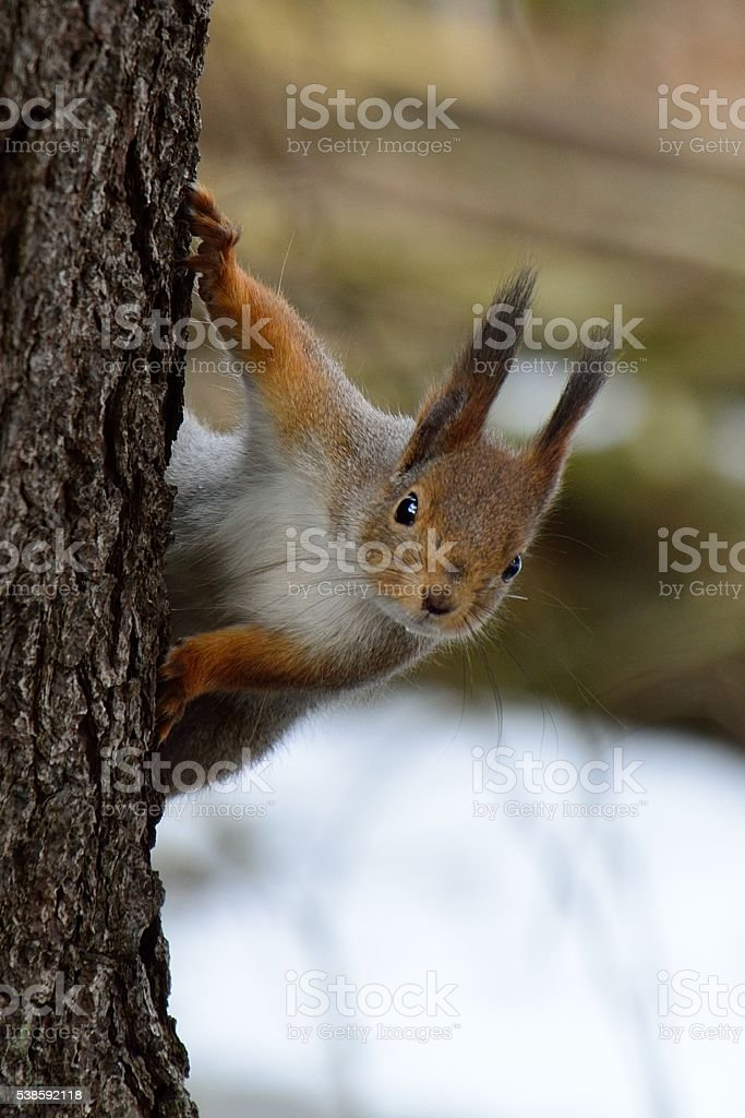 Cute squirrel peaking behind a tree stock photo