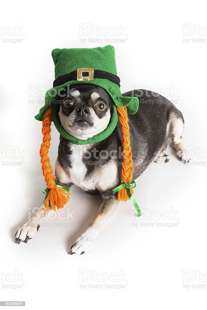 Cute St. Patrick's Day Dog royalty-free stock photo