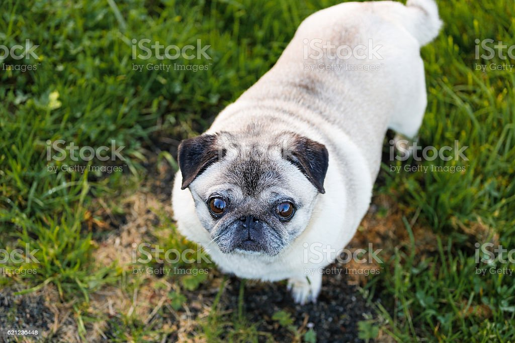 Cute staring pug stock photo