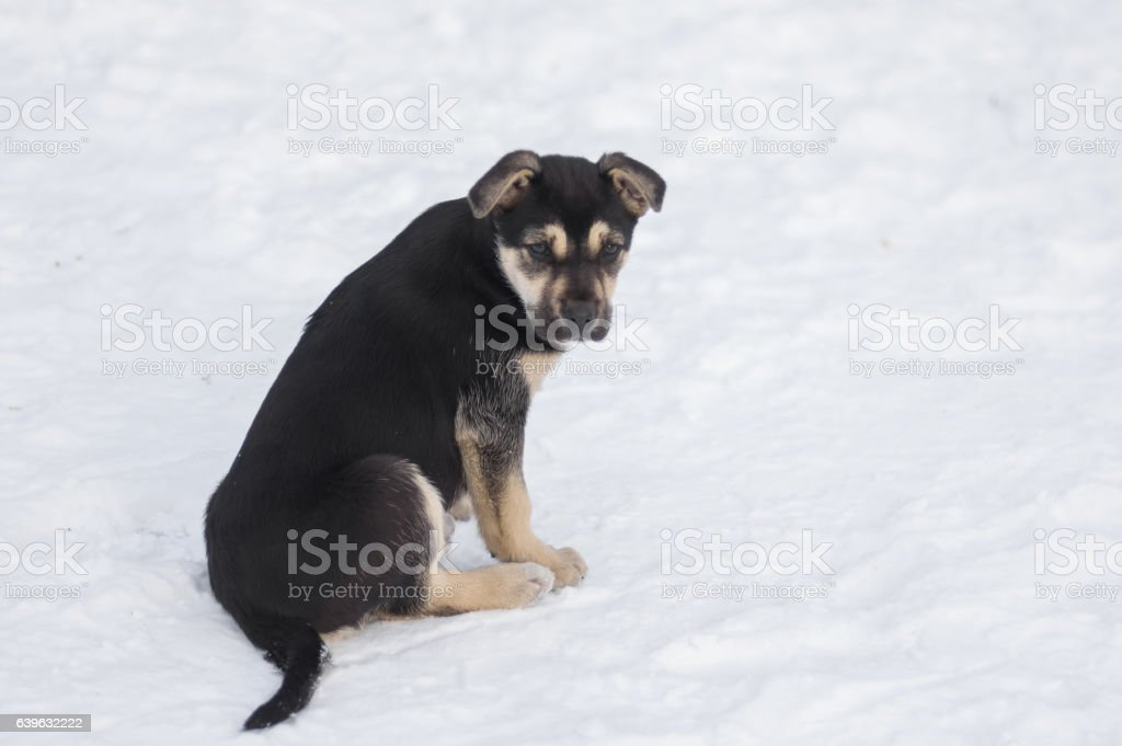 Cute stray black puppy sitting on a snow stock photo