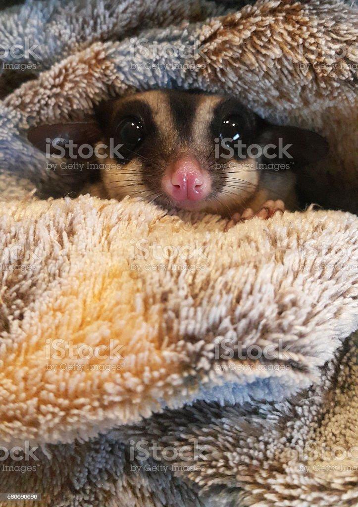 Cute sugar glider in her blanket stock photo