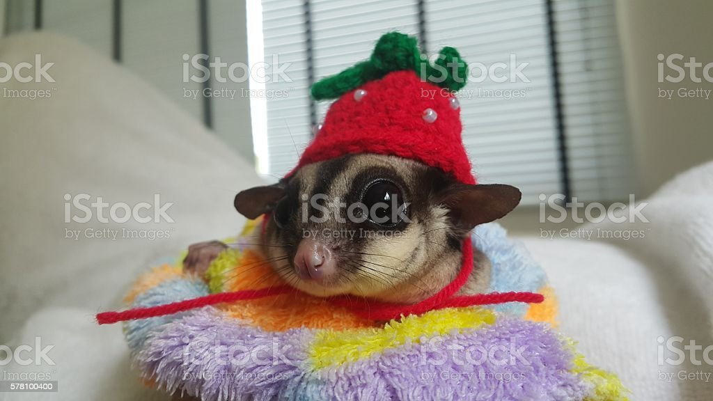 cute Sugar glider with red hood stock photo