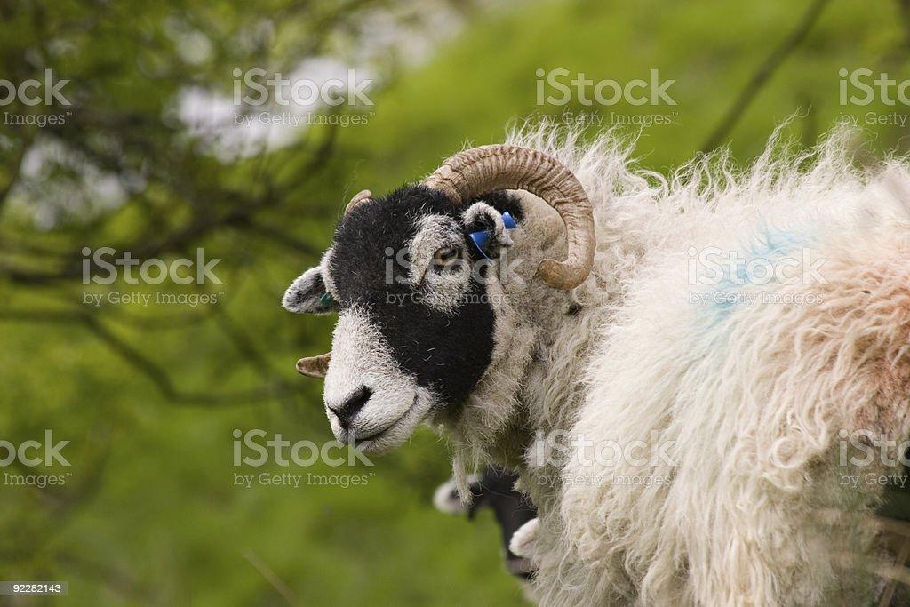 Cute Swaledale Sheep stock photo