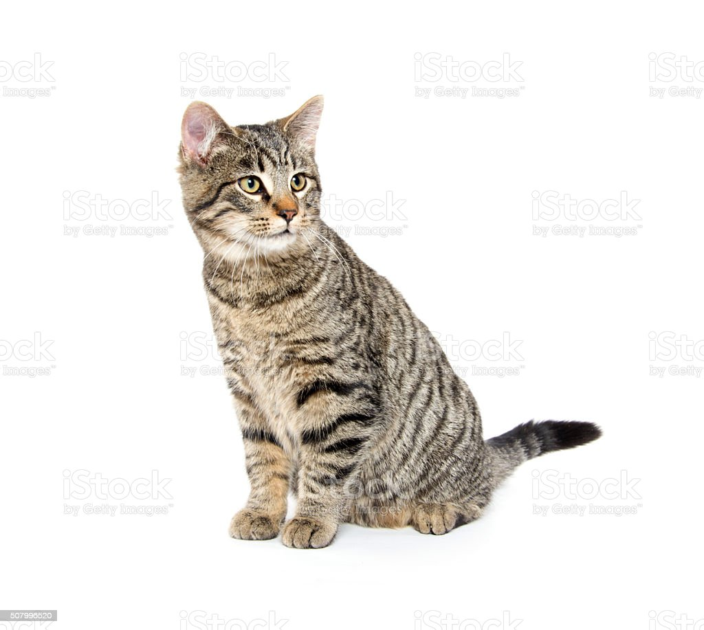 Cute tabby cat on white stock photo
