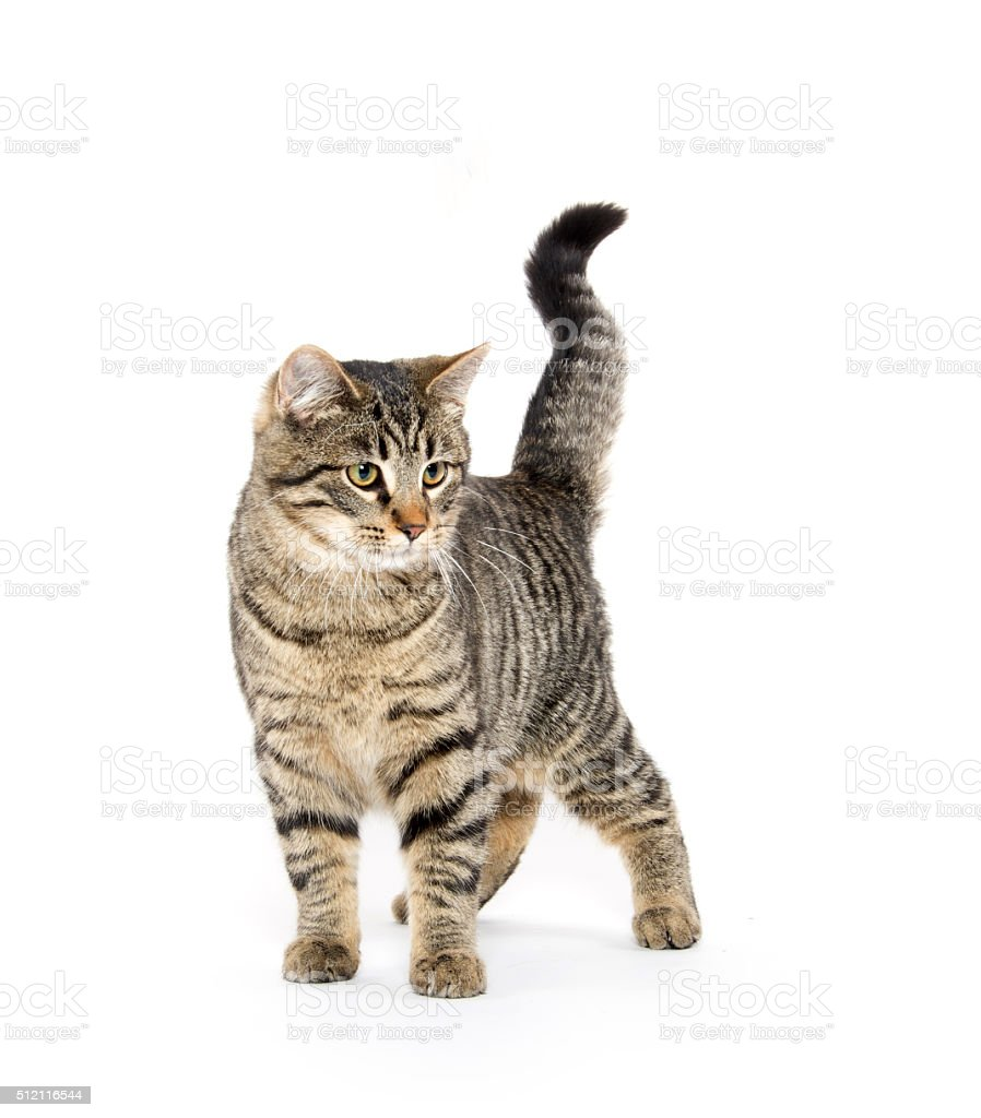 Cute tabby cat playing stock photo