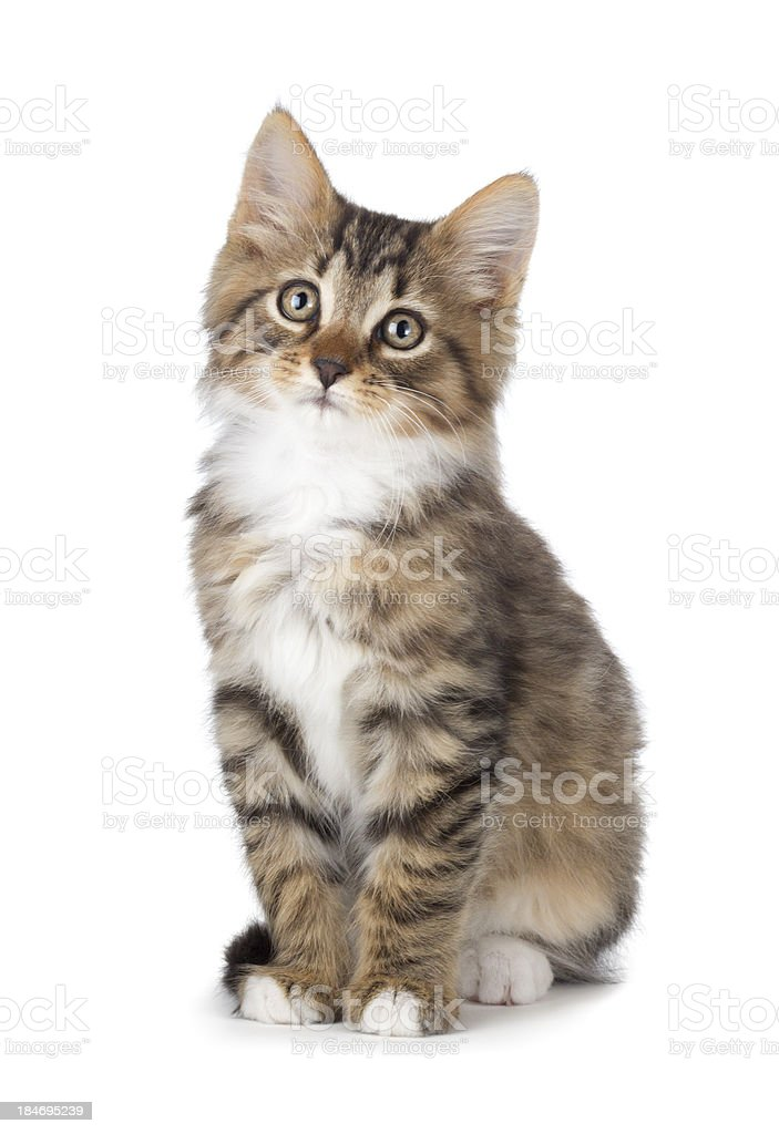 Cute tabby kitten on a white background. stock photo