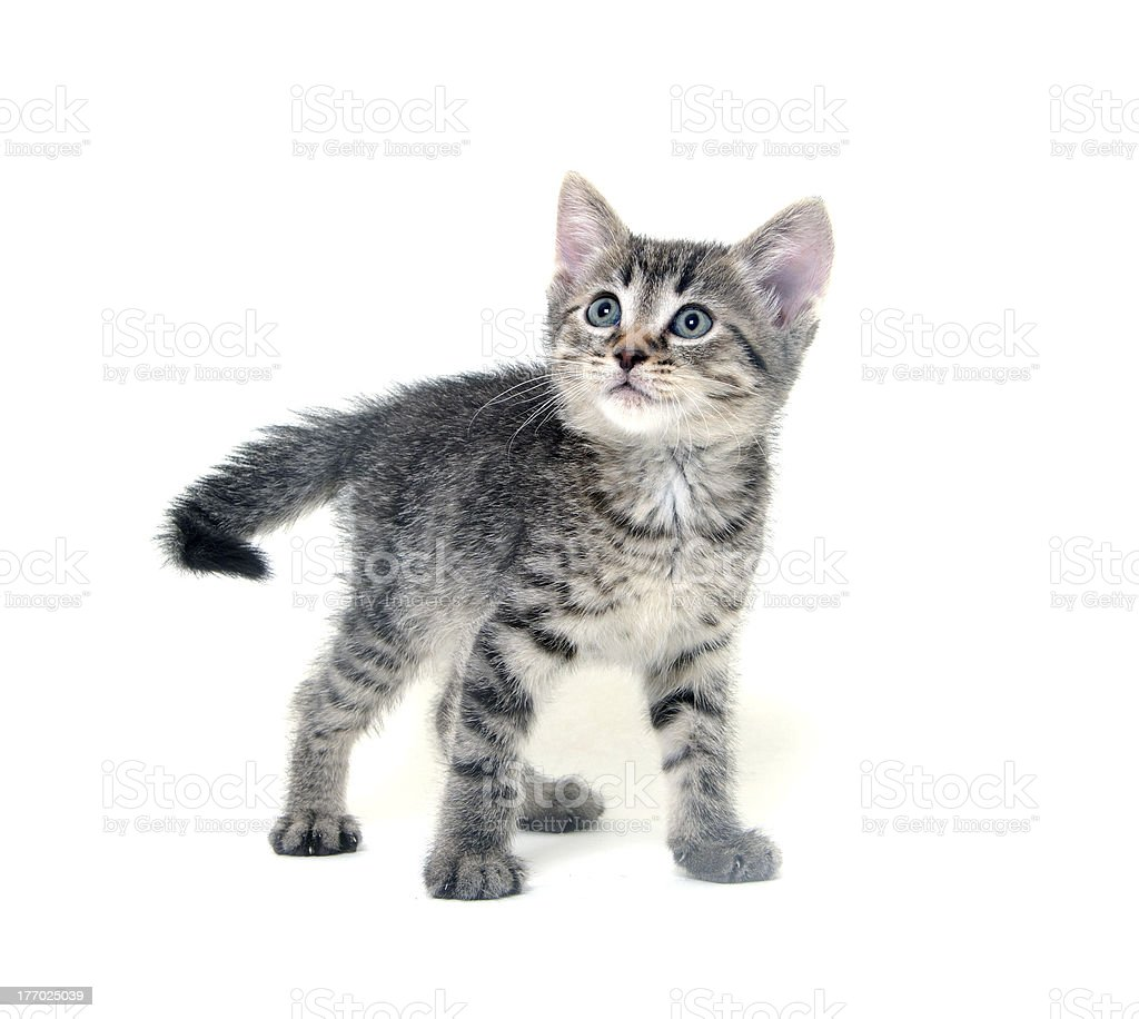 Cute tabby kitten on white stock photo