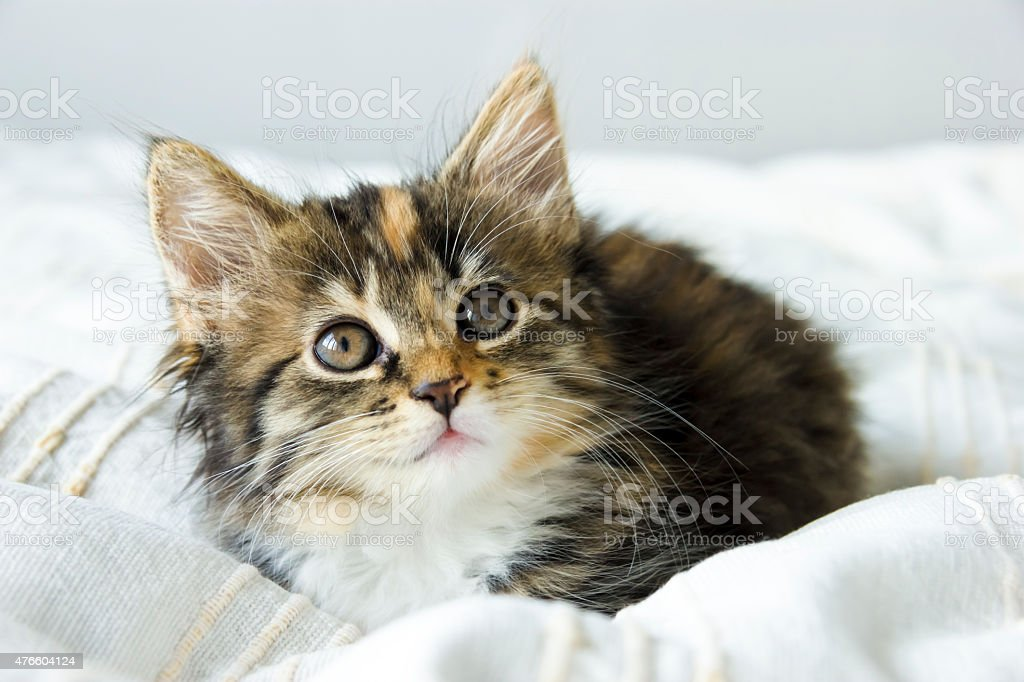 Cute tabby kitten sitting on the bed cover stock photo