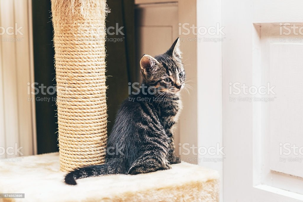Cute tabby kitten with a scratching post stock photo
