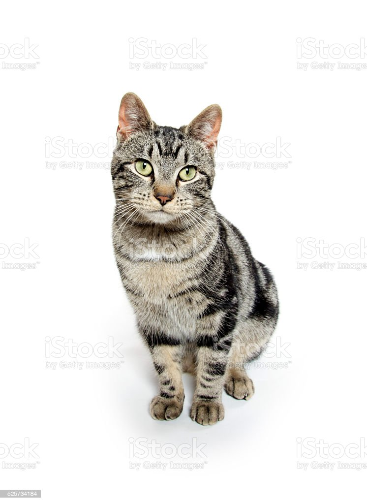 Cute tabby on white stock photo