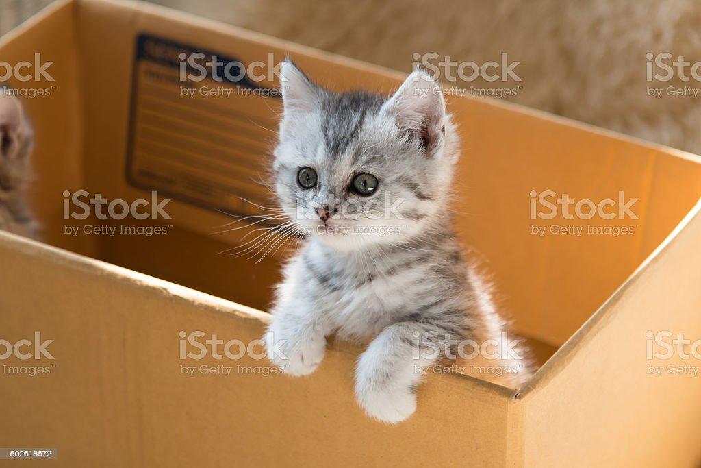 Cute tabby persian kitten stock photo
