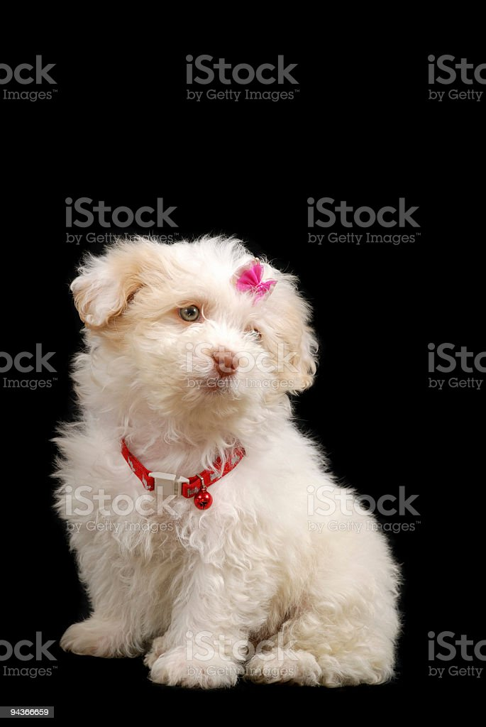 Cute Terrier royalty-free stock photo