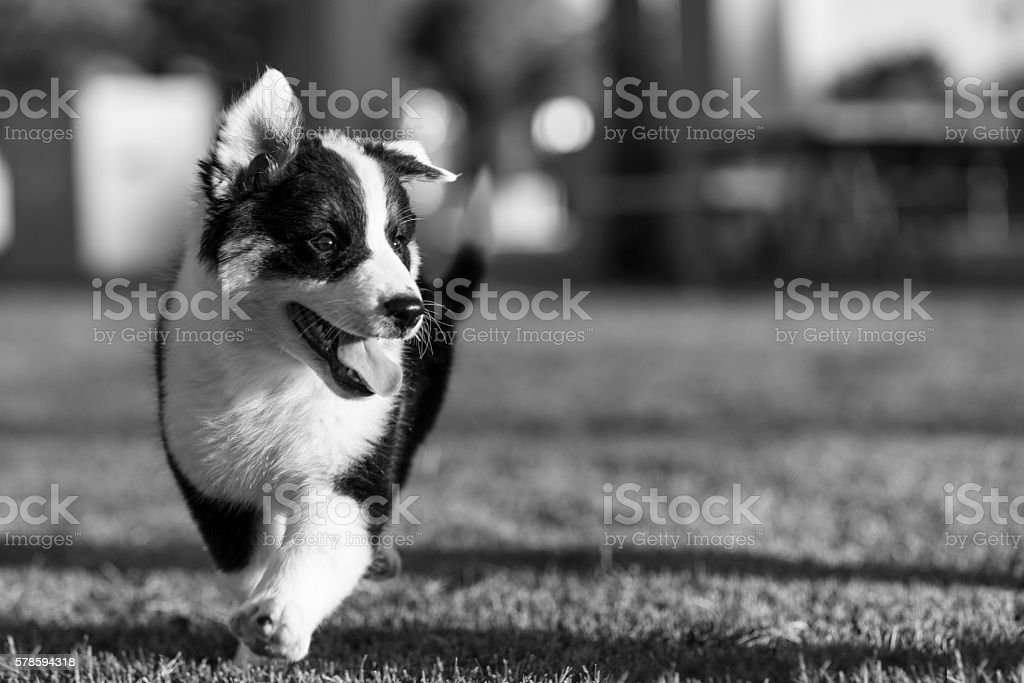 Cute Texas Heeler Puppy in the Park in black and white stock photo