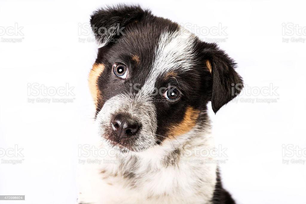 Cute Texas Heeler Puppy stock photo