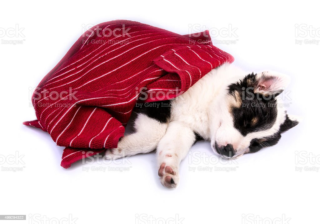 Cute Texas Heeler Puppy Sleeping stock photo
