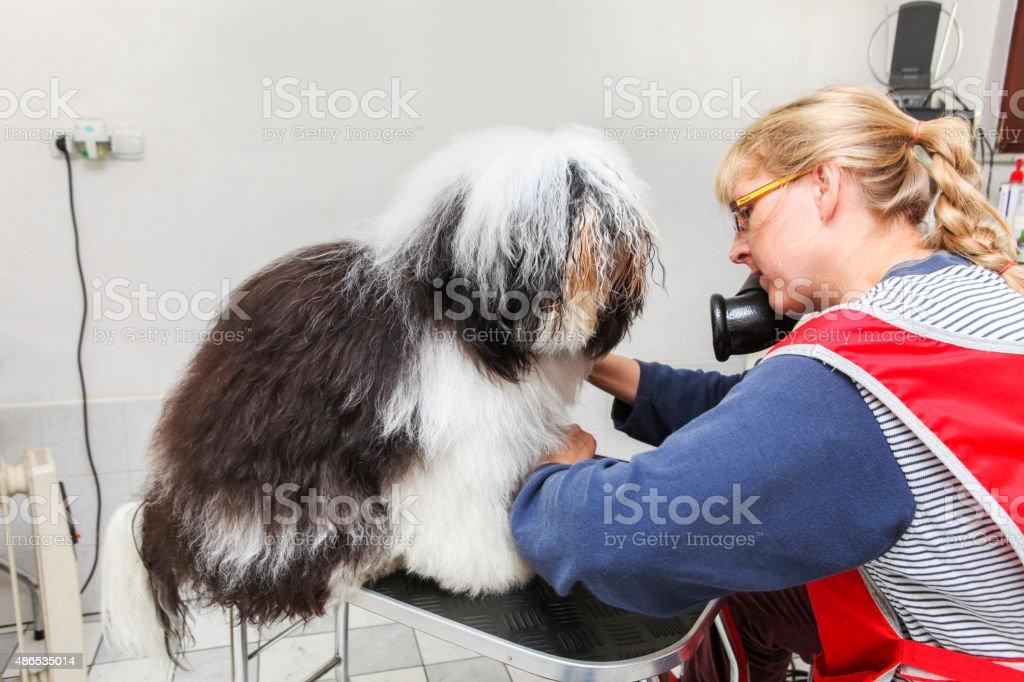 Cute Tibetan Terrier at the groomer stock photo