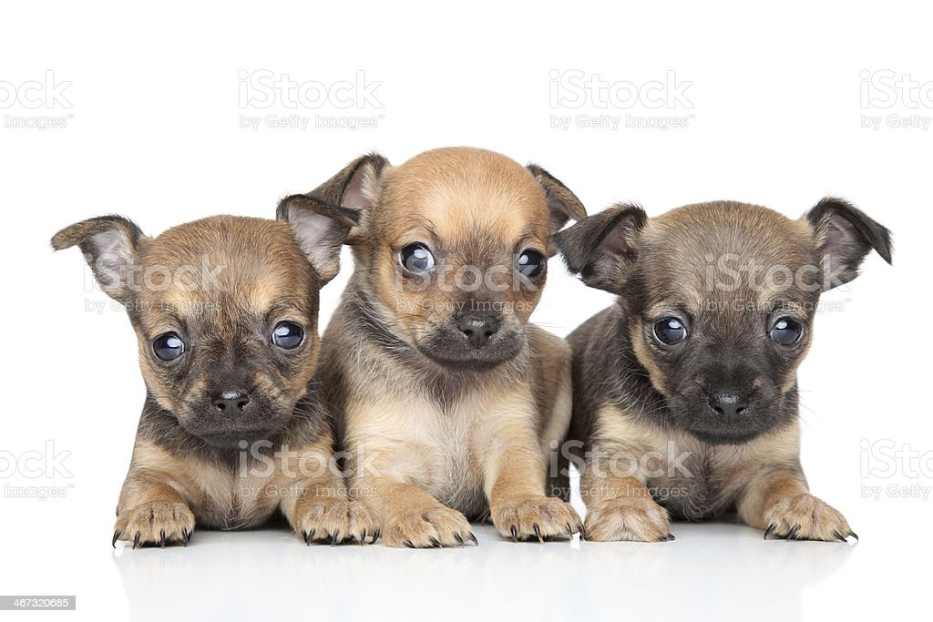 Cute Toy Terrier puppies on white background stock photo