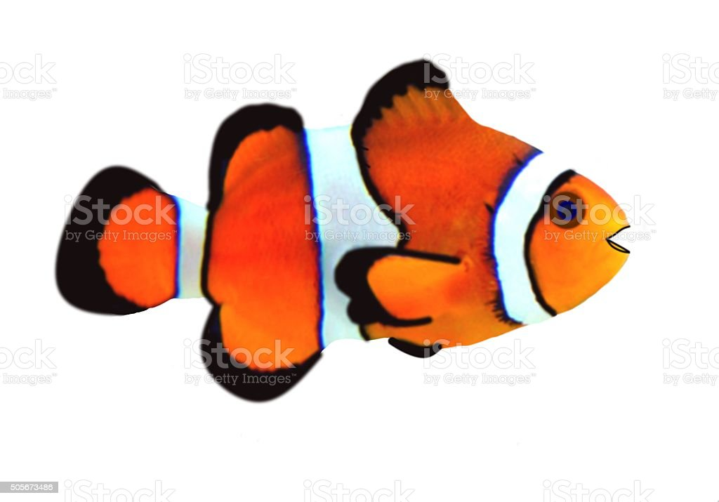 cute tropical clown fish in a white background stock photo