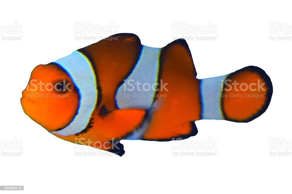 cute tropical clown fish isolated white background stock photo