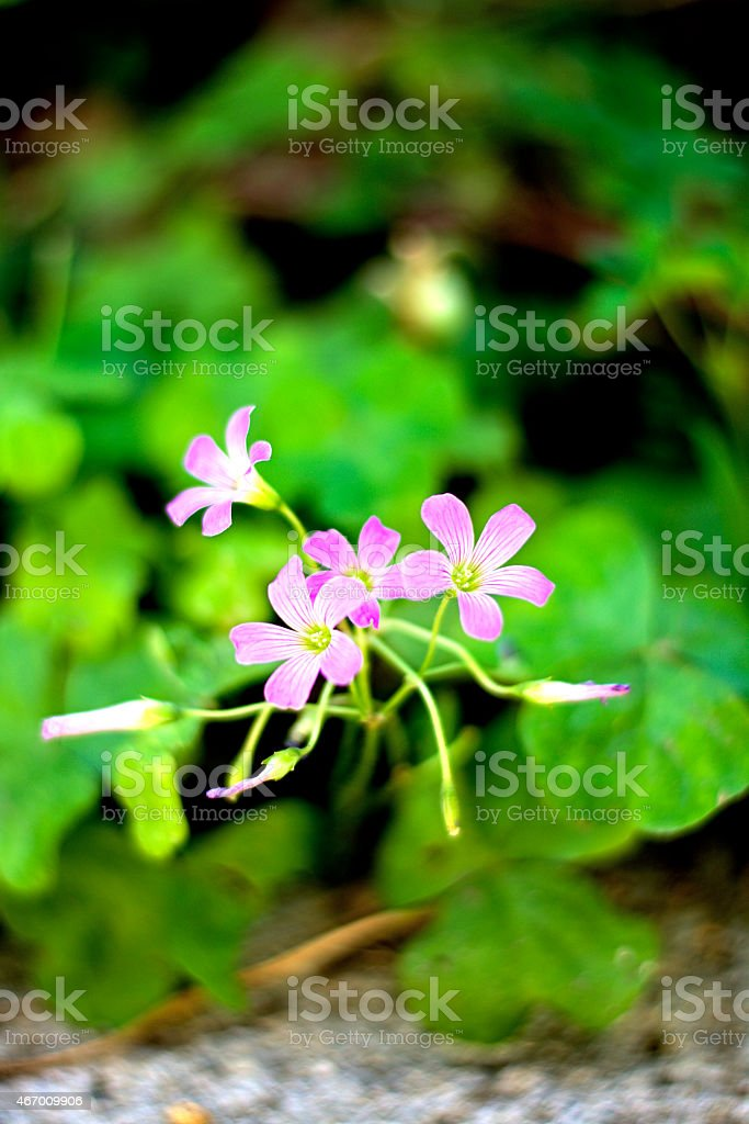 cute Violet wood-sorrel stock photo