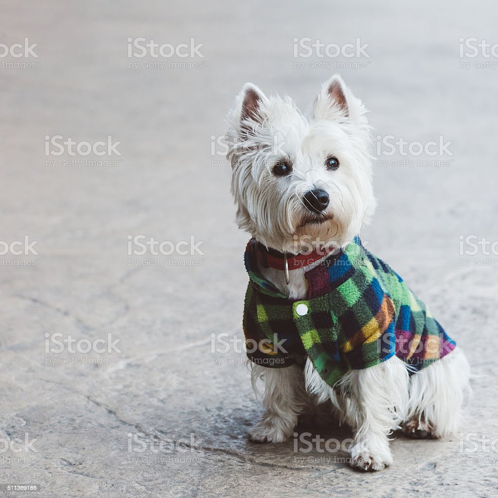Cute west terrier stock photo