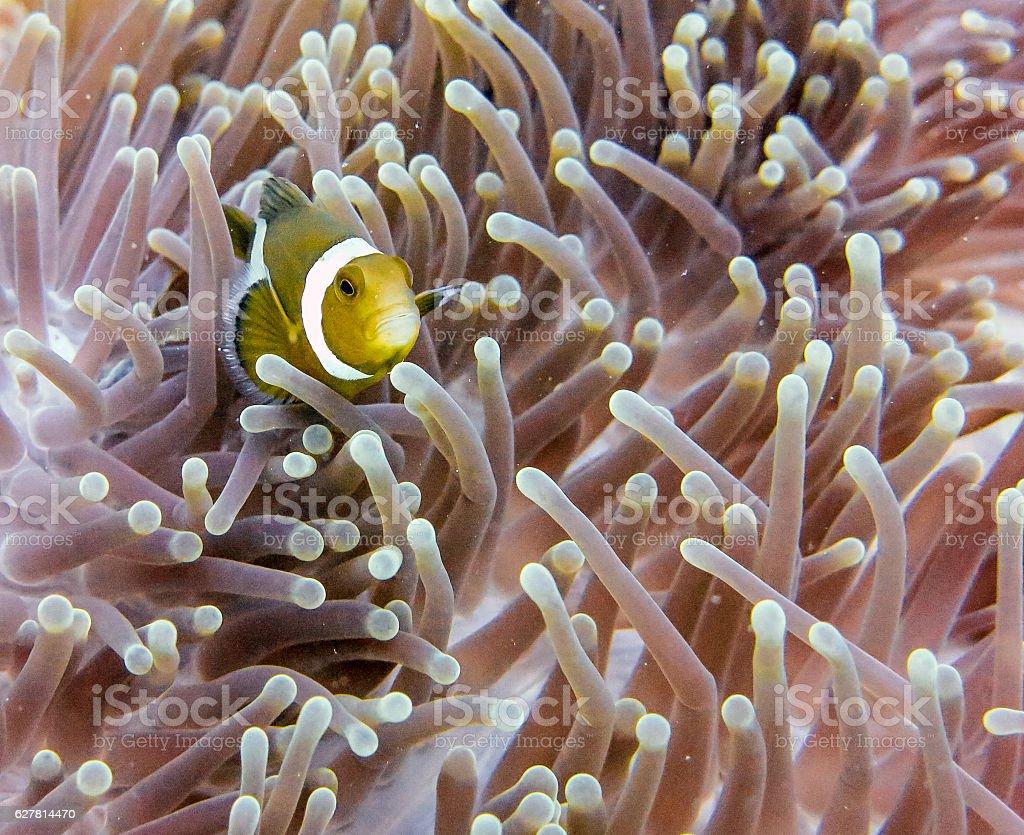 Cute Western Clownfish (Amphiprion ocellaris) Anemonefish Anemone stock photo