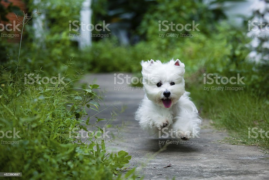 cute westie dog run fast like flying stock photo