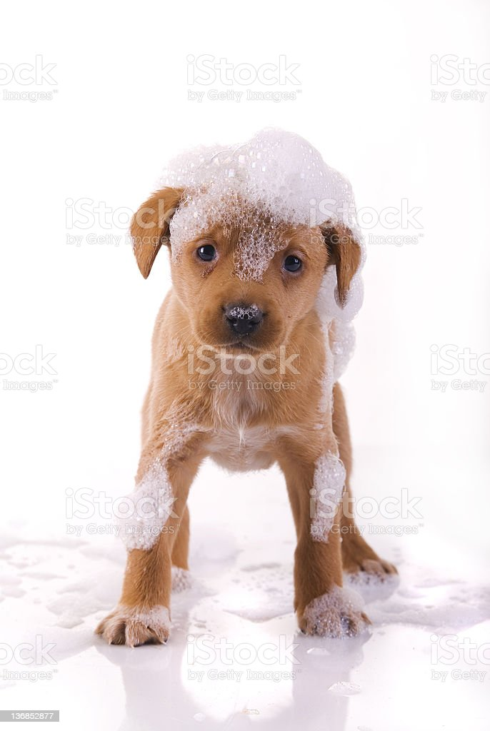 cute, wet puppy royalty-free stock photo