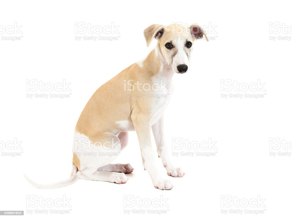 Cute Whippet Puppy isolated stock photo