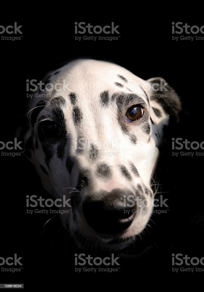 Cute white black Dalmatian dog royalty-free stock photo
