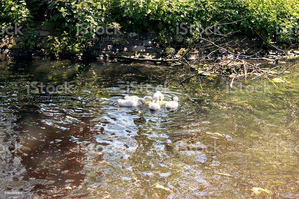 Cute white cygnets stock photo