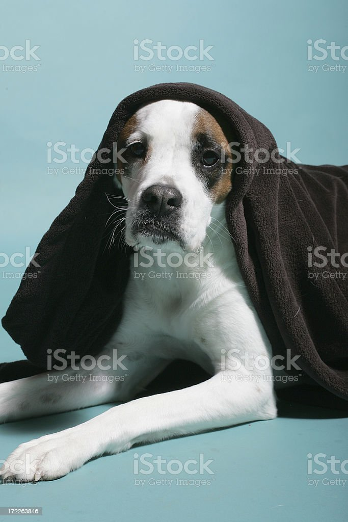 Cute white dog in blanket royalty-free stock photo