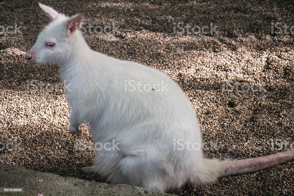 Cute White Joey stock photo