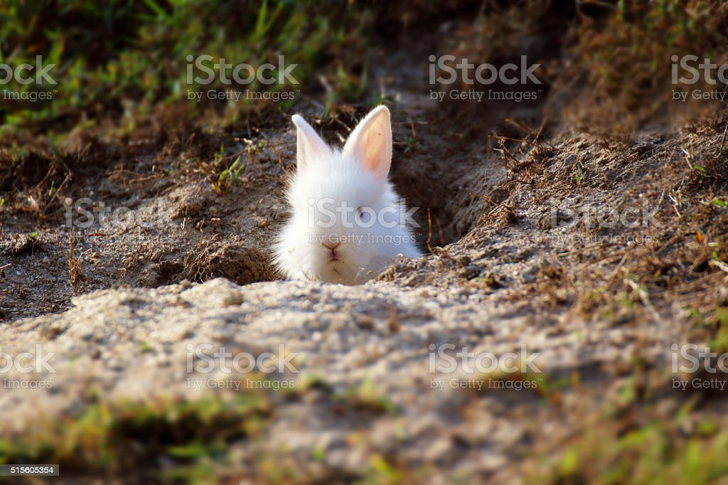 Cute white Little Rabbit peeking out of hole. stock photo