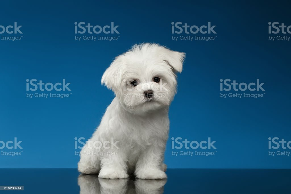 Cute White Maltese Puppy Sits and Curiously Looking in Camera stock photo